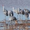 Sandhill Cranes (Grus canadensis) Whitewater Draw, WMA, AZ