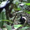 Gray-winged Trumpeter (Psophia crepitans) Rupinuni River Valley, Guyana