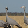 Blue Crane (Anthropoides paradiseus) Etosha NP, Namibia