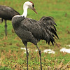 Hooded Crane (Grus monacha) Izumi Crane Reserve, Kyushu, Japan