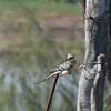 Great Spotted Cuckoo (Clamator glandarius) Coto Donana, Spain