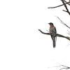 Red-chested Cuckoo (Cuculus solatarius) Semliki Forest, Uganda