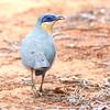 Running Coua (Coua cursor) Berenty Reserve, Madagascar