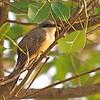 Mangrove Cuckoo (Coccyzus minor) Las Haistes NP, Dominican Republic