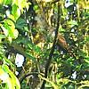 Dusky Long-tailed Cuckoo (Cercococcyx mechowi) Kibale Reserve, Uganda