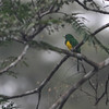 African Emerald Cuckoo (Chrysococcyx cupreus) Ankasa Forest and Reserve, Ghana
