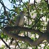 African Cuckoo (Cuculus gularis) Etosha NP, Namibia