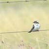 Dideric Cuckoo (Chrysococcyx caprius) near Devon, Gauteng, South Africa