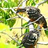 Hoatzin (Opisthocomus hoazin) Tarapoto area, San Martin, Peru