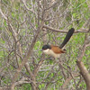 Burchell's Coucal (Centropus burchelli) Krueger NP, South Africa