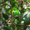 Blue-crowned Chlorophonia (Chlorophonia occipitalus) Chelemha Reserve, Yalijux Mountains, Guatemala