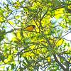 White-vented Euphonia (Euphonia minuta) Pico Bonito, Honduras