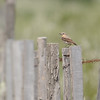 Northern Wheatear (Oenanthe oenanthe) The Camargue, Provence, France