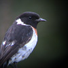 African Stonechat (Saxicola torquata) Bafut-Nguemba Forest Reserve, Cameroon