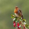 Eurasian Robin (Erithacus rubicula) Island of Arran, Scotland