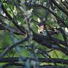 White-browed Scrub-Robin (Cercotrichas leucophrys) Etosha MP, Namibia