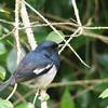 Madagascar Magpie-robin (Copsychus albospecularis) Perinet, Madagascar