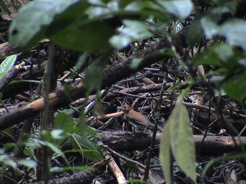 Fire-crested Alethe (Alethe diademata) Korup NP, Cameroon