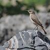 Familiar Chat (Cercomela familiaris) Etosha NP, Namibia