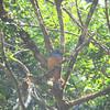 Forest Rock-Thrush (Monticola sharpei) Perinet, Madagascar