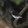 White-tailed Alethe (Alethe diademata) Nsutu Forest, Ghana