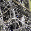 Variegated Fairy-Wren (Malurus lamberti) NSW, Australia