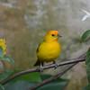Saffron Finch (Sicalis flaveola) San Francisco, Tolima, Columbia