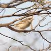 Collared Warbling-finch (Poospiza hispaniolensis) Chappari Reserve, Peru
