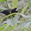 Nicaraguan Seed-Finch (Sporophila nuttingi) near La Selva OTS Reserve, Heredia, Costa Rica