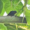 Orangequit (Euneornis campestris) Green Castle Estate, Saint Mary Parish, Jamaica