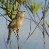 Wedge-tailed Grass-Finch (Emberizoides herbicola) Moyabamba, San Martin, Peru