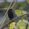 Thick-billed Seed-Finch (Oryzoborus funereus) ProAves Eldorado Reserva, Magdalena, Columbia