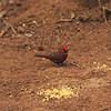 Red-crested Finch (Coryphospingus cucullatus ) Gotas de Agua Reserve, Maranon Valley, Peru
