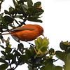 Hawaii Akepa (Loxops coccineus) Hakalau Forest NWR, Hawaii HI