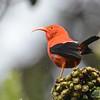 Iiwi (Drepanis coccinea) Hakalau Forest NWR, Hawaii HI