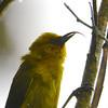 Akiapolaau (Hemignathus wilsoni) Hakalau Forest NWR, Hawaii HI