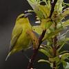Hawaii Amakihi (Chlorodrepanis virens) Hakalau Forest NWR, Hawaii HI