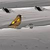 Oriental Greenfinch (Carduelis sinica) Onga River Estuary, Kyushu, Japan