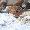 Brown-capped Rosy-finch (Leucosticte australis) Sandia Crest, Albuquerque NM
