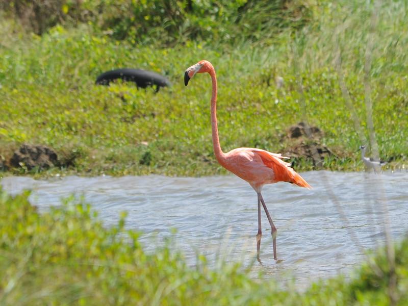 American Flamingo (Phoenicopterus ruber) Barceloneta, Puerto Rico