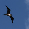Great Frigatebird (Fregata minor) Lighthouse Point, Kauai HI