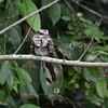 Ladder-tailed Nightjar (Hydropsalis climacocerca) Cristalino Lodge, Alta Floresta, Mato Grosso, Brazil