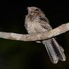 Madagascar Nightjar (Caprimulgus madagascariensis) Berenty