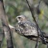 Lesser Nighthawk (Chordeiles acutipennis) Chappari Reserve