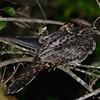 Tawny-collared Nightjar (Antrostomus salvini) El Cielo Biosphere Reserve, Tamaulipas, Mexico