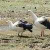 Andean Goose (Chloephaga melanoptera) Salkantay Trail, Cusco, Peru