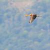 Fulvous Whistling Duck (Dendrocygna bicolor) Lago Yajoa, Honduras