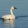 Tundra Swan (Cygnus columbianus) Lake Mattamuskeet, NC