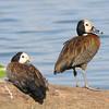 White-faced Whistling-Duck (Dendrocygna viduata) Lac d'Alarobia, Antananarivo, Madagascar