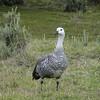Upland Goose (Chloephaga picta) Ushuaia, Argentina.